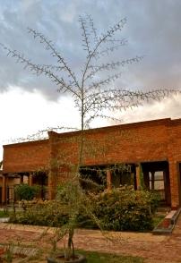 Acacia Lisebo Maria Tree